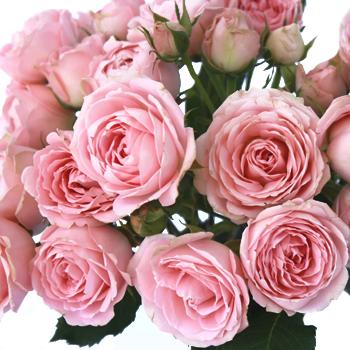 Classic Pink Spray Garden Roses