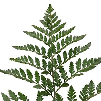 Leather Leaf Greenery