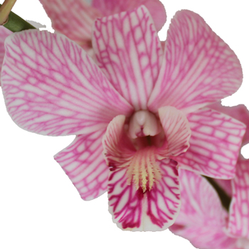 Shocking Pink Wedding Orchid Garland