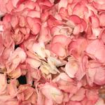 Tinted Hydrangea Salmon Peach
