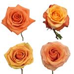 Light to Medium Orange Roses