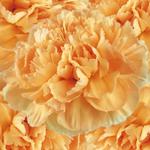 Fresh Cut Carnation Flower Light Orange
