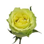 Green Yellow Rose Limbo