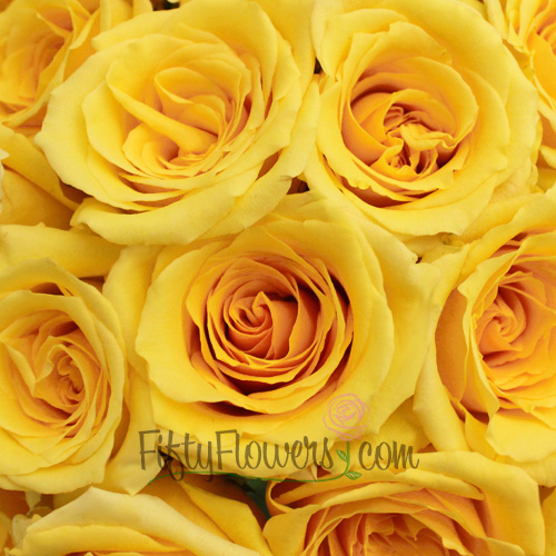 Lindsey Yellow Rose
