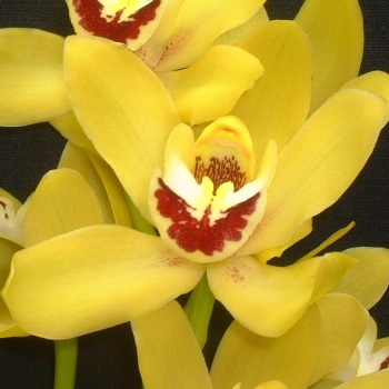 Mini Cymbidium Orchids Sunny Yellow