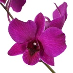 Fresh Cut Dendrobium Purple Chanel Blue Orchid Flowers Variety Channel Blue