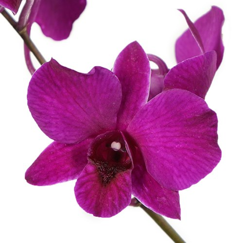 Magnetic Magic Orchid Flower