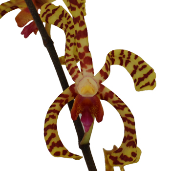 Yellow Pink Tiger Aranthera Orchids