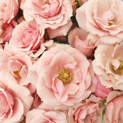 Light Pink Spray Bulk Roses
