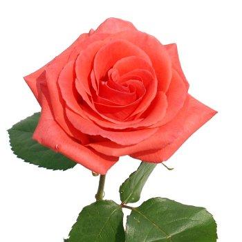 Marjan Coral Orange Rose