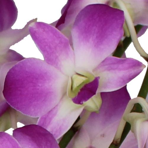 Medium Purple Kiss Orchid Flower