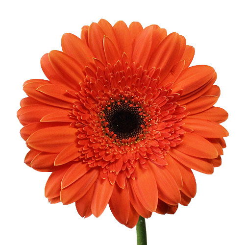Melon Orange Gerbera Flowers