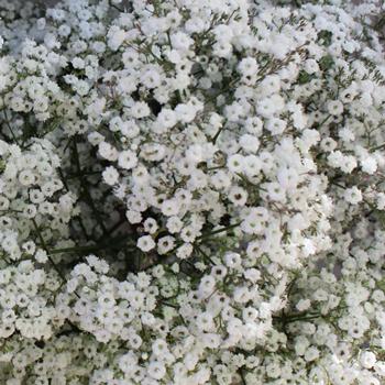 Million Star Bulk Baby's Breath Flower