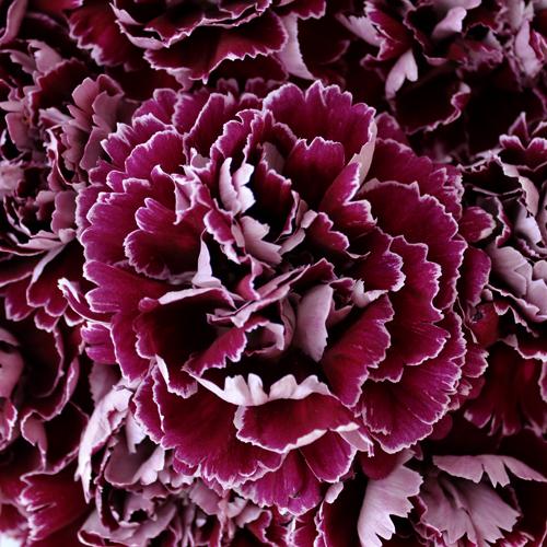 Carnation Flower Burgundy Moonlight