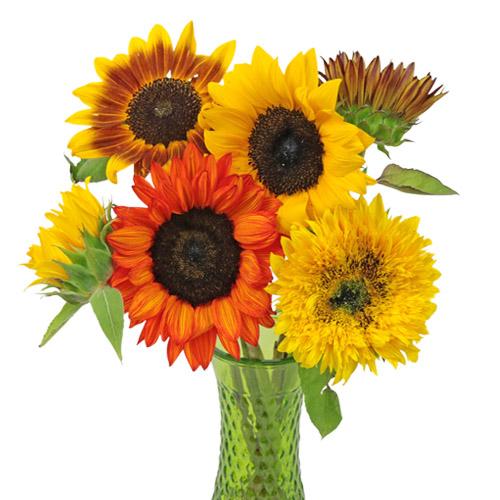 Farm Mix Mini Sunflowers for Arranging