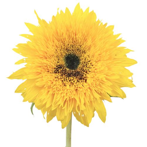 Sunsplash Mini Sunflowers