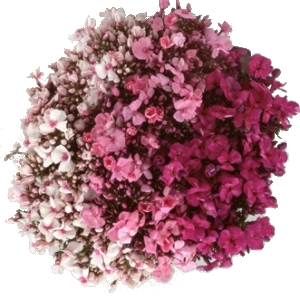 Phlox Farm Mix Flower