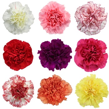 6e7f242cc8fc Assorted Color Mother s Day Carnation Flowers