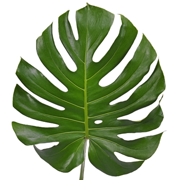 Monstera Leaves Tropical Greenery