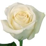White Rose Mt Everest