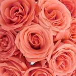 Salmon Pink Rose Movie Star
