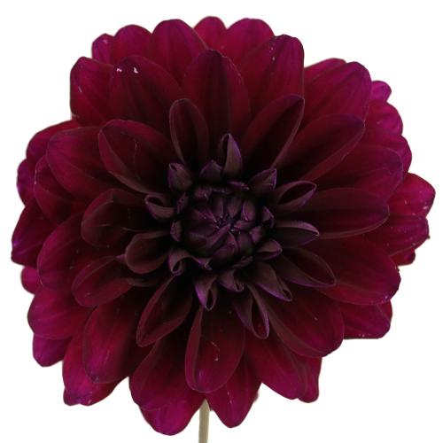 Burgundy Berry Dahlia Flower