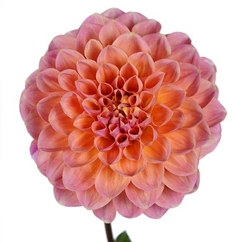 Party Peach Dahlia Flower