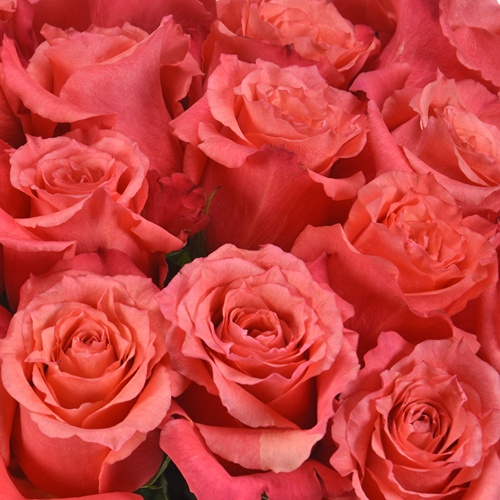 Nature's Cherry Coral Rose