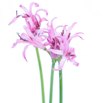 Nerine Pink Flower September to December