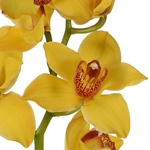 Yellow Cymbidium Bulk Orchid Flower