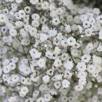 Baby S Breath Wedding Flower Express Delivery