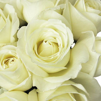 Vanilla Cream Garden Rose