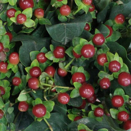 Antique Burgundy Designer Hypericum Berries