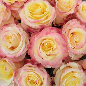 Twisted Pink Bulk Rose
