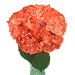 Orange Tinted Bulk Hydrangea Flower