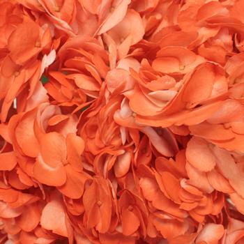 Orange Airbrushed Hydrangea