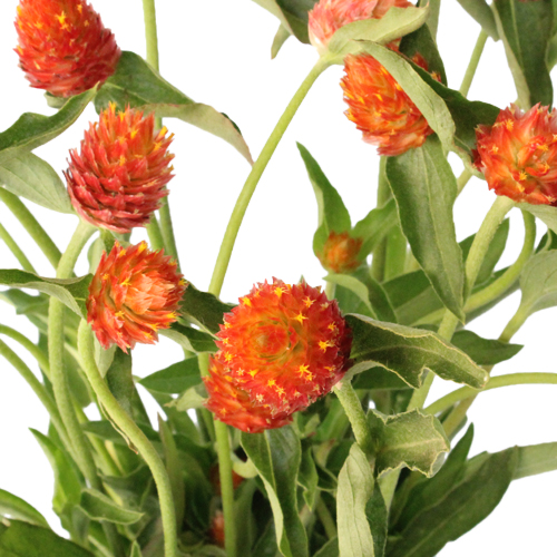 Orange Globosa Gomphrena Bulk Flower