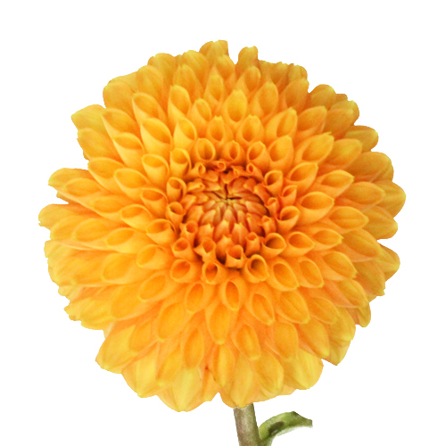 Orange Marmalade Button Dahlia Flower