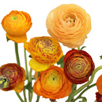 Golden Rod Orange Ranunculus May 15th to August Delivery