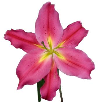 Tarango Watermelon Pink Oriental Lily