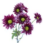 Orinoco Bulk Novelty Daisy Flower