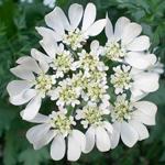Filler Flower Queen Anne's Lace