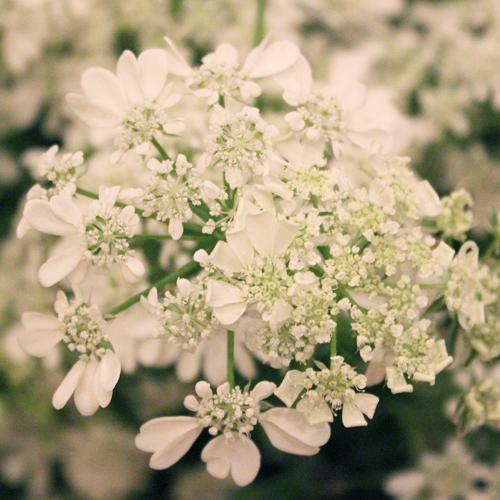 Orlaya White Lace Vintage Wedding Flower