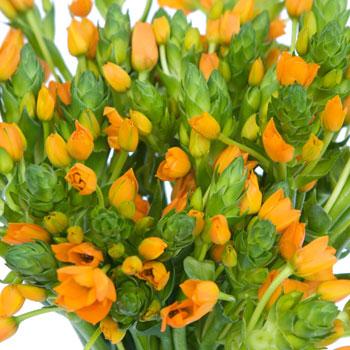 Ornithogalum Orange Flower