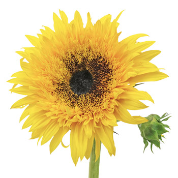 Sunsplash Sunflower
