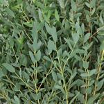 Parvafolia Fresh Eucalyptus Greenery
