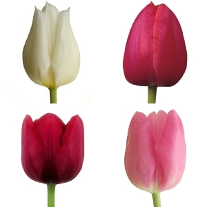 Passion Pack Fresh Cut Tulips