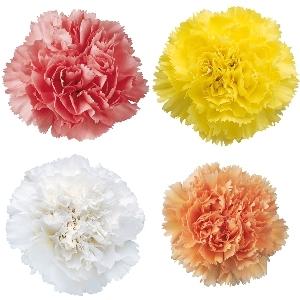 Pastel Mixed Carnation Flower