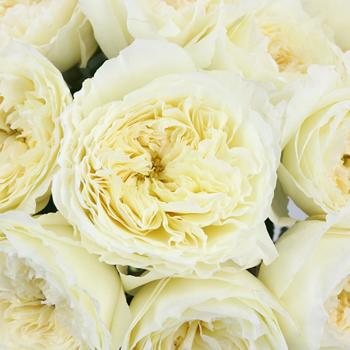 Patience Ivory Cream David Austin Garden Rose
