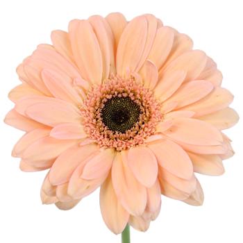 Peach Gerbera Daisy